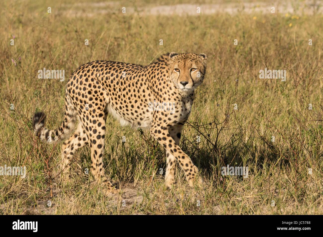 Walking cheetah - Stock Image