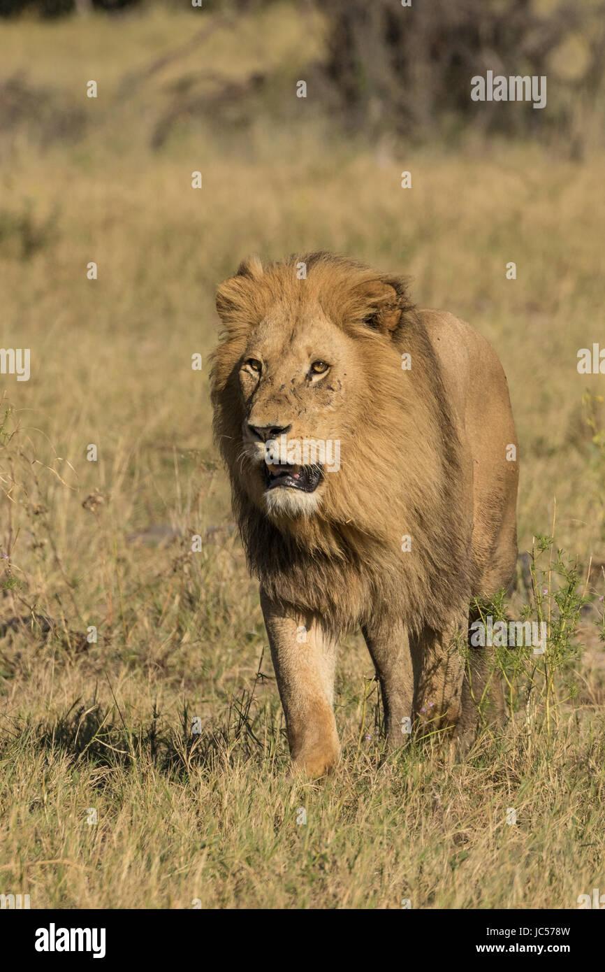 Male lion - Stock Image