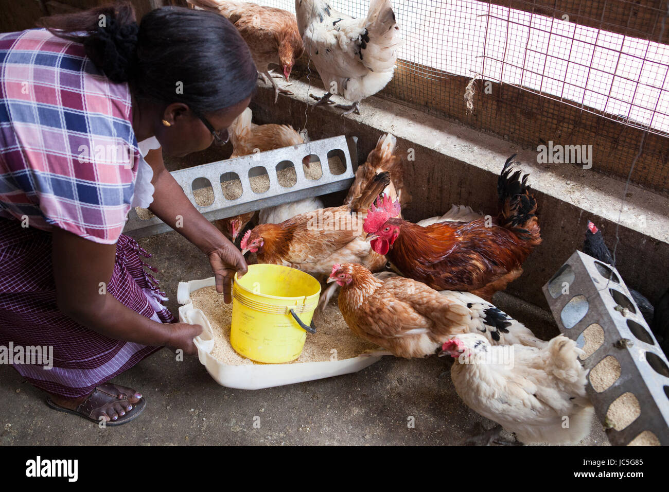 A female small business poultry farmer feeds her chickens, Tanzania, Africa - Stock Image