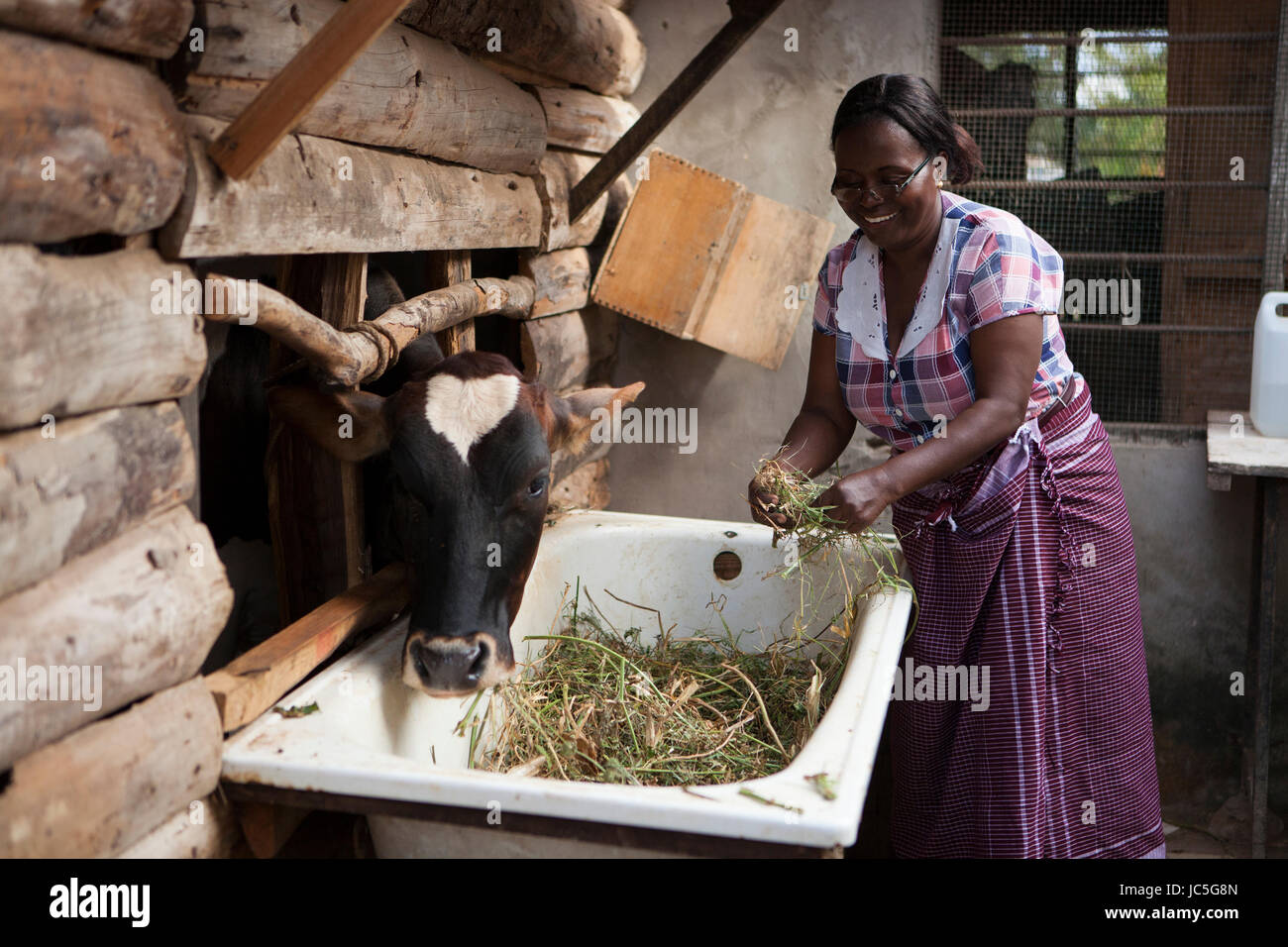 A female small business farmer feeding her cow, Tanzania, Africa. - Stock Image