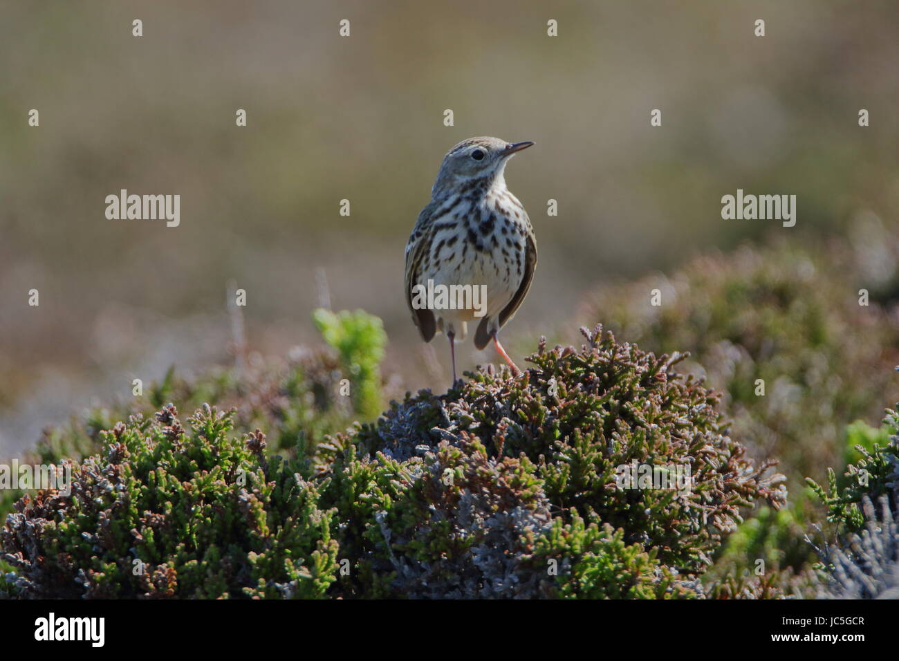 Meadow pipit, Anthus pratensis, photographed next to Tarbatness lighthouse in the highlands of Scotland Stock Photo