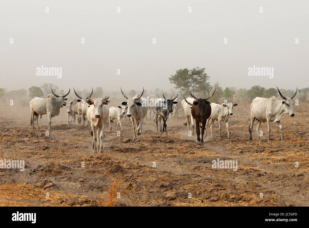 Native Cattle in Nigeria, walking in the Farm land during Harmattan Session. - Stock Image