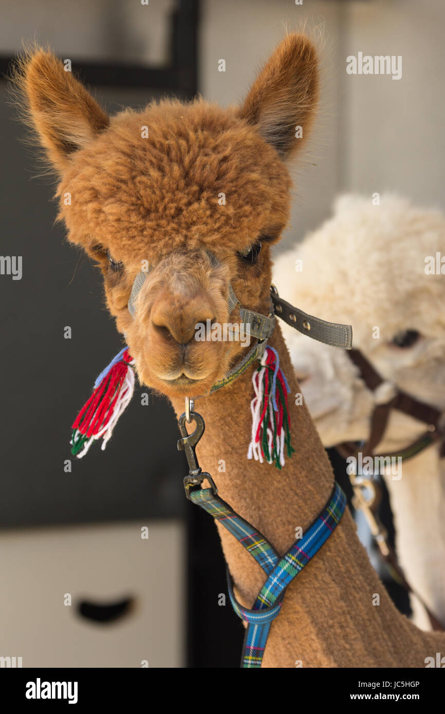Head shot of captive brown/ginger coloured Alpaca (Vicugna pacos) & white one in background on display at Ham - Stock Image