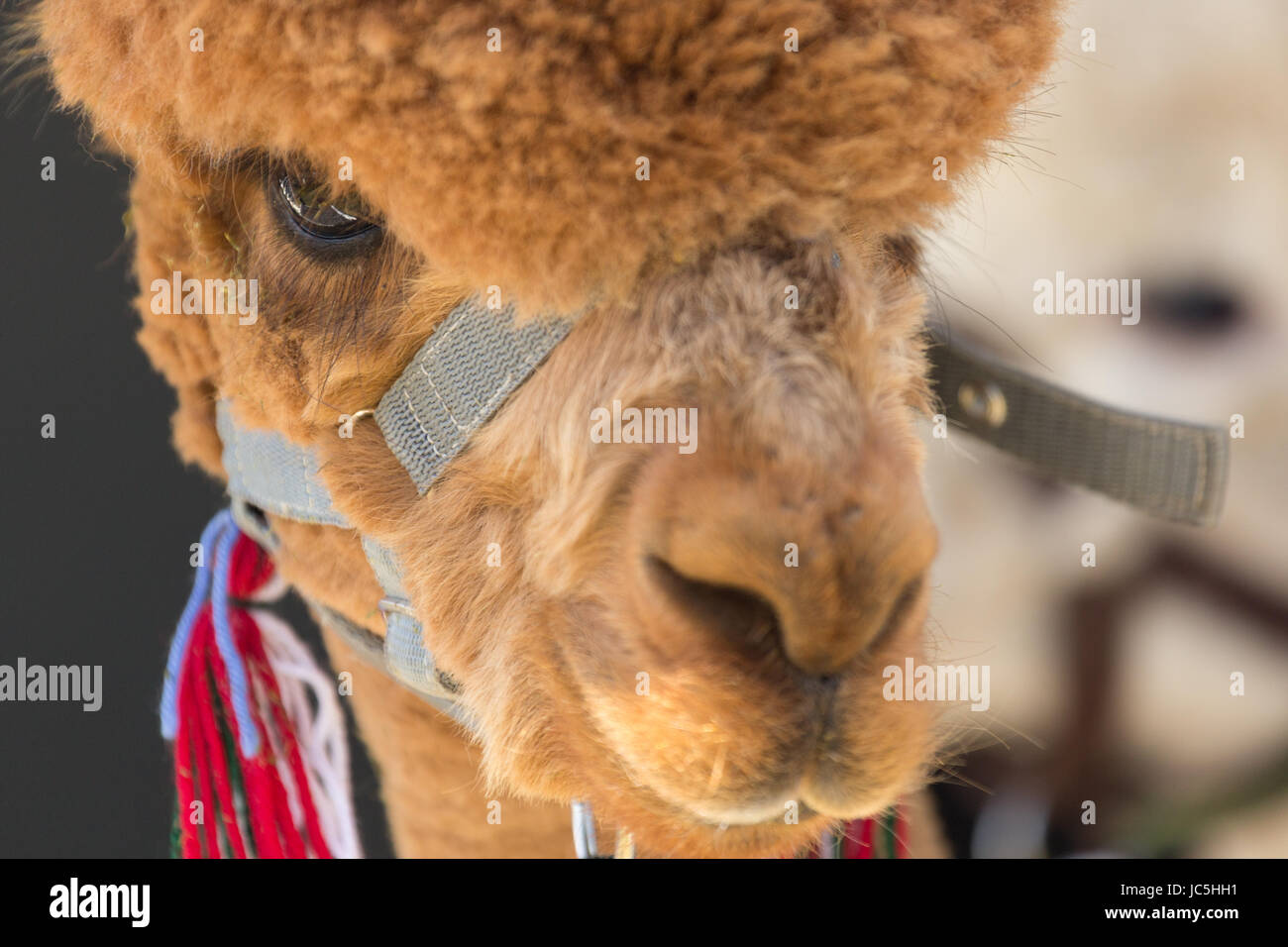 Close-up head shot of captive brown/ginger coloured Alpaca (Vicugna pacos) on display at Ham Fair. Ham Common, Richmond - Stock Image