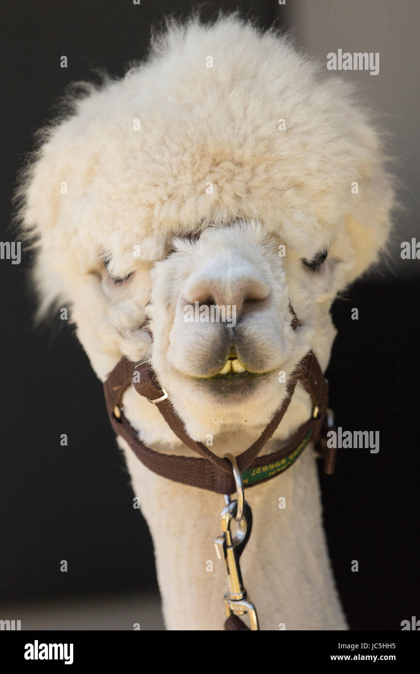 Head shot of white coloured captive Alpaca (Vicugna pacos) on display at Ham Fair. Ham Common, Richmond-upon-Thames, - Stock Image