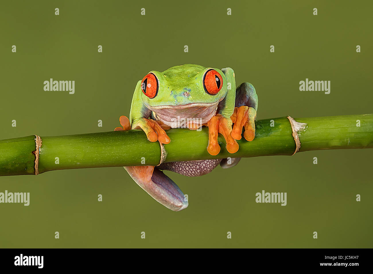 A close up portrait of a red eyed tree frog hanging on to a bamboo shoot looking forward and about to fall - Stock Image
