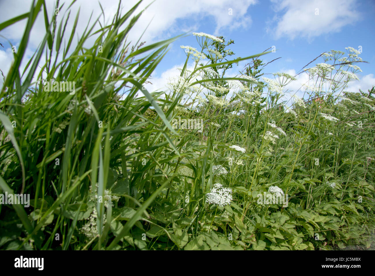 Roadside Weed With White Flowers And Blue Summer Sky As Backdrop