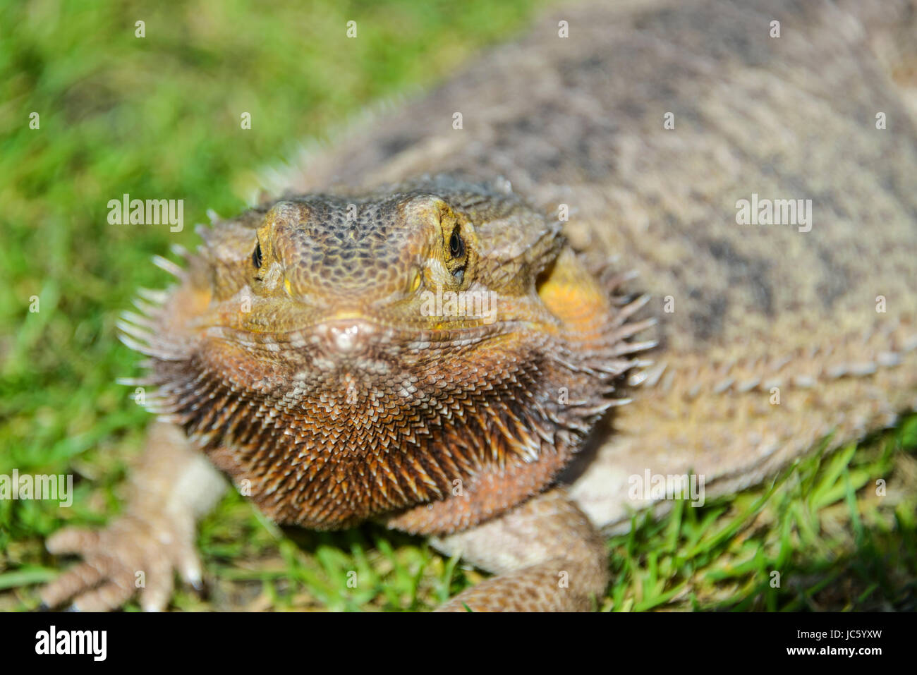 A bearded dragon basking in the sun - Stock Image