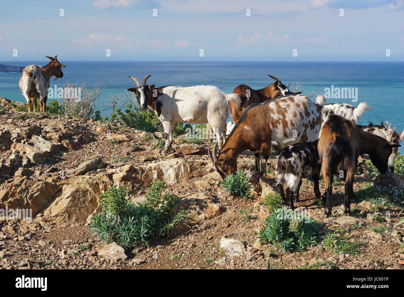 Herd of goats with the Mediterranean sea in background, Pyrenees Orientales, Vermilion coast, Roussillon, south - Stock Image