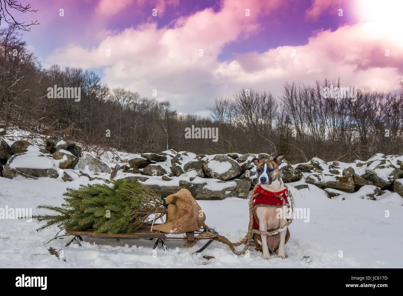 A Cute Dog Pulling A Sled And A Christmas Tree Stock Photo