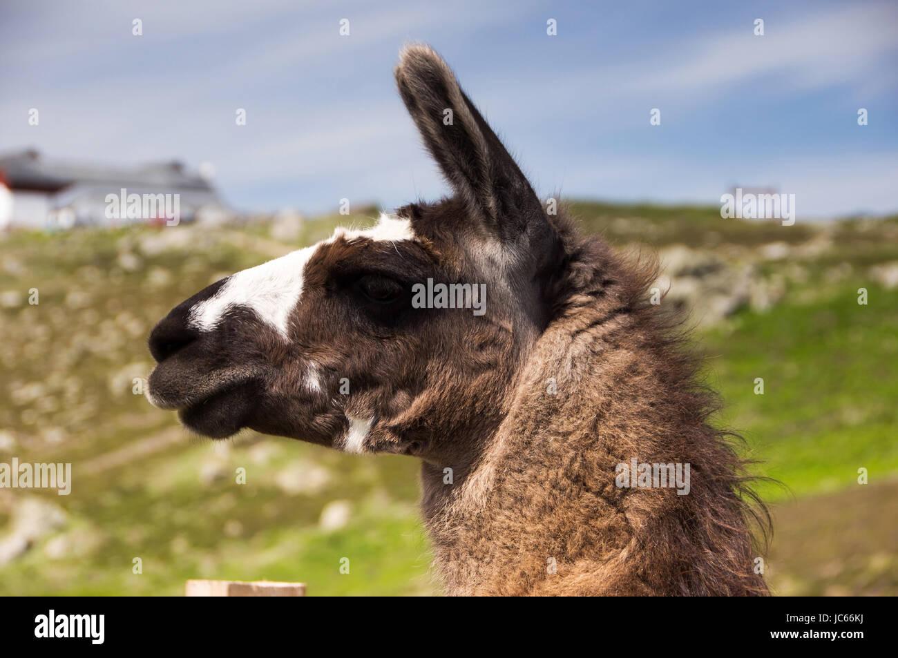 Llama, a type home in South America of the camels , Lama, eine in Südamerika heimische Gattung der Kamele - Stock Image