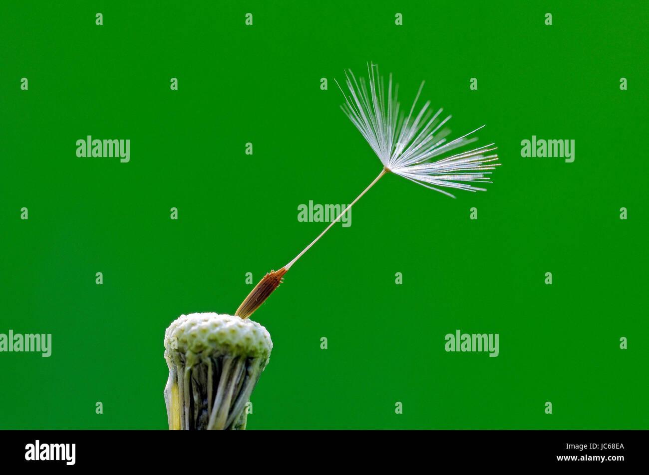 Single seed of the dandelion, Einzelner Samen des Löwenzahn - Stock Image