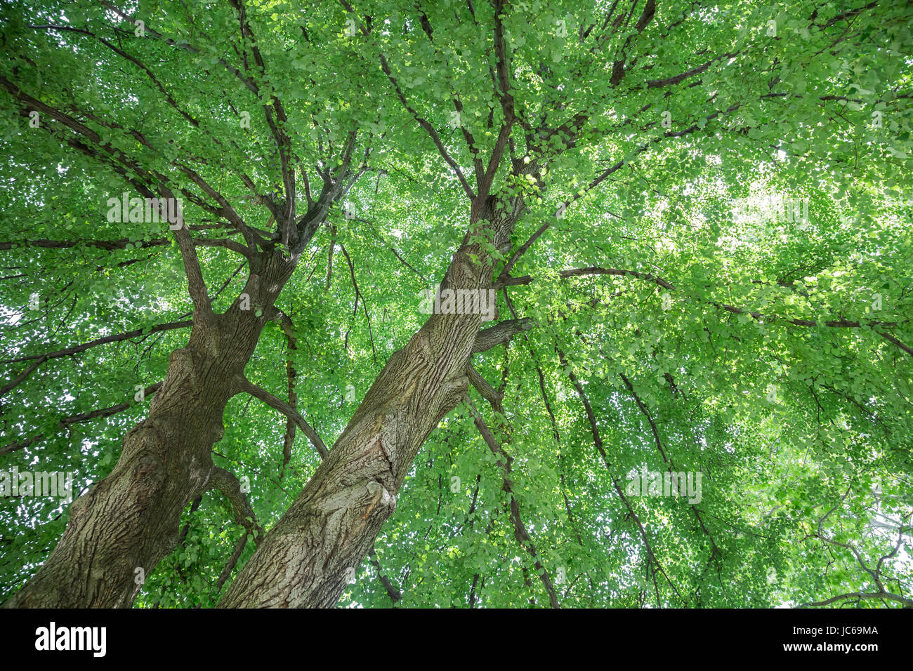 Looking up at avery large double leader linden tree. - Stock Image