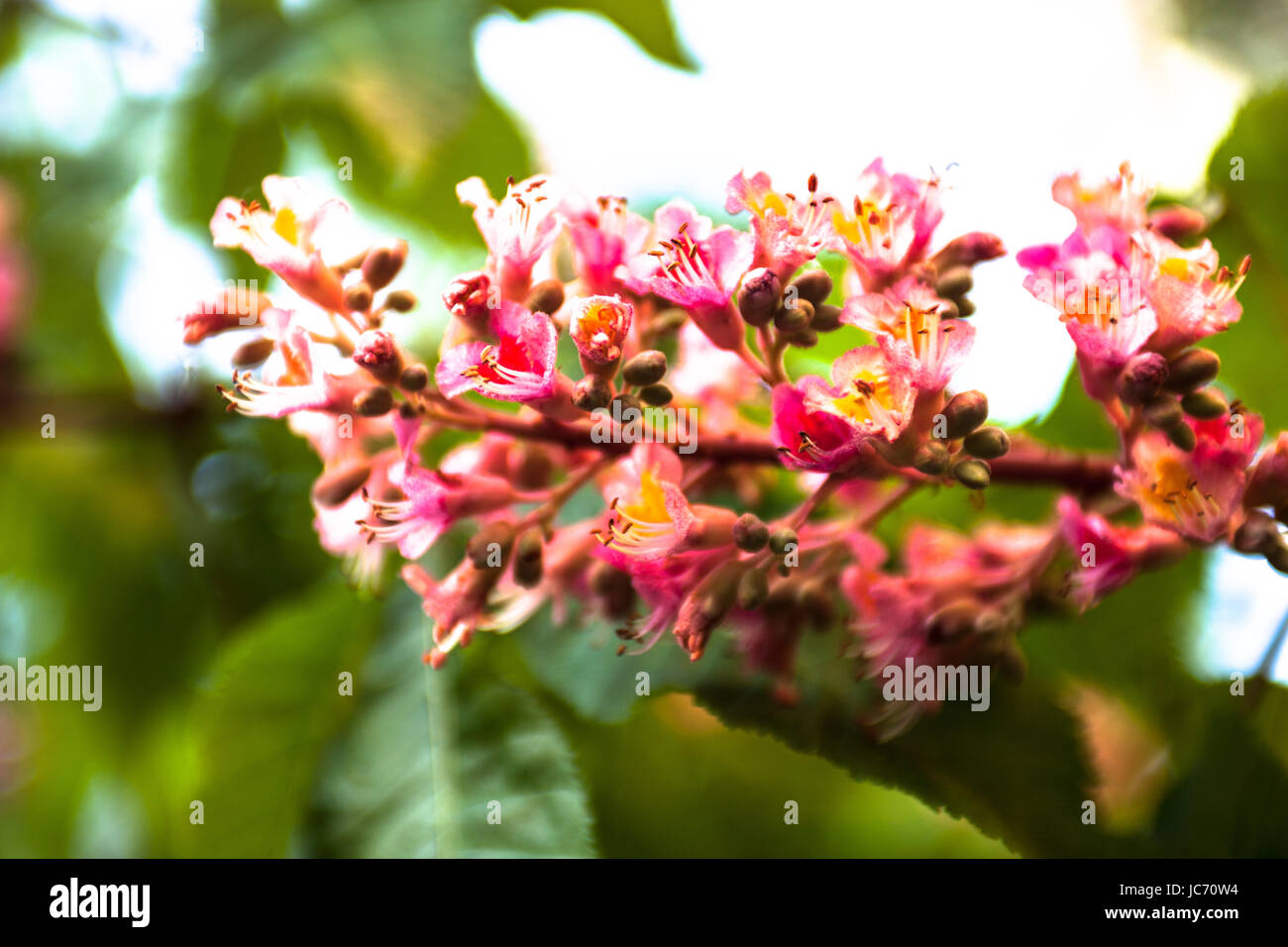 Bunch of pink flowers of the horse chestnut tree stock photo bunch of pink flowers of the horse chestnut tree mightylinksfo