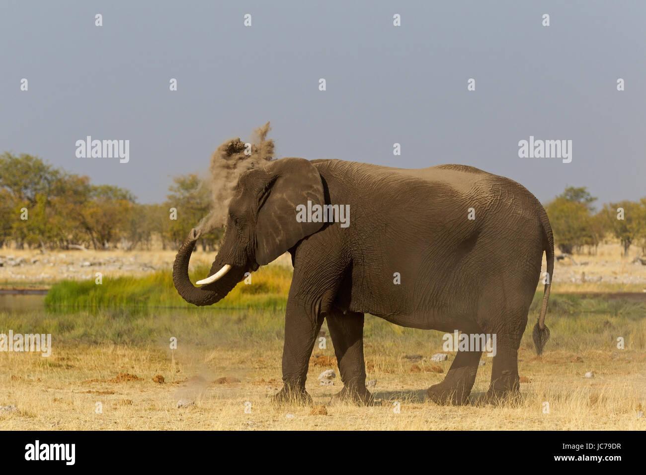 African Bush Elephant, African Savanna Elephant - Stock Image
