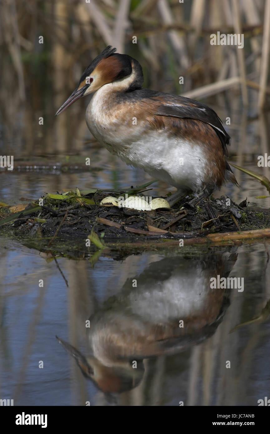 Bonnet diver stands on the nest, Haubentaucher steht auf dem Nest - Stock Image
