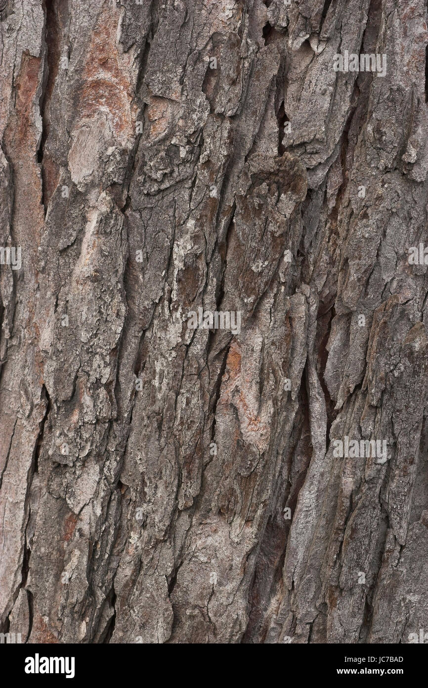 Horse chestnut, Aesculus hippocastanum, Rosskastanie / Aesculus hippocastanum - Stock Image