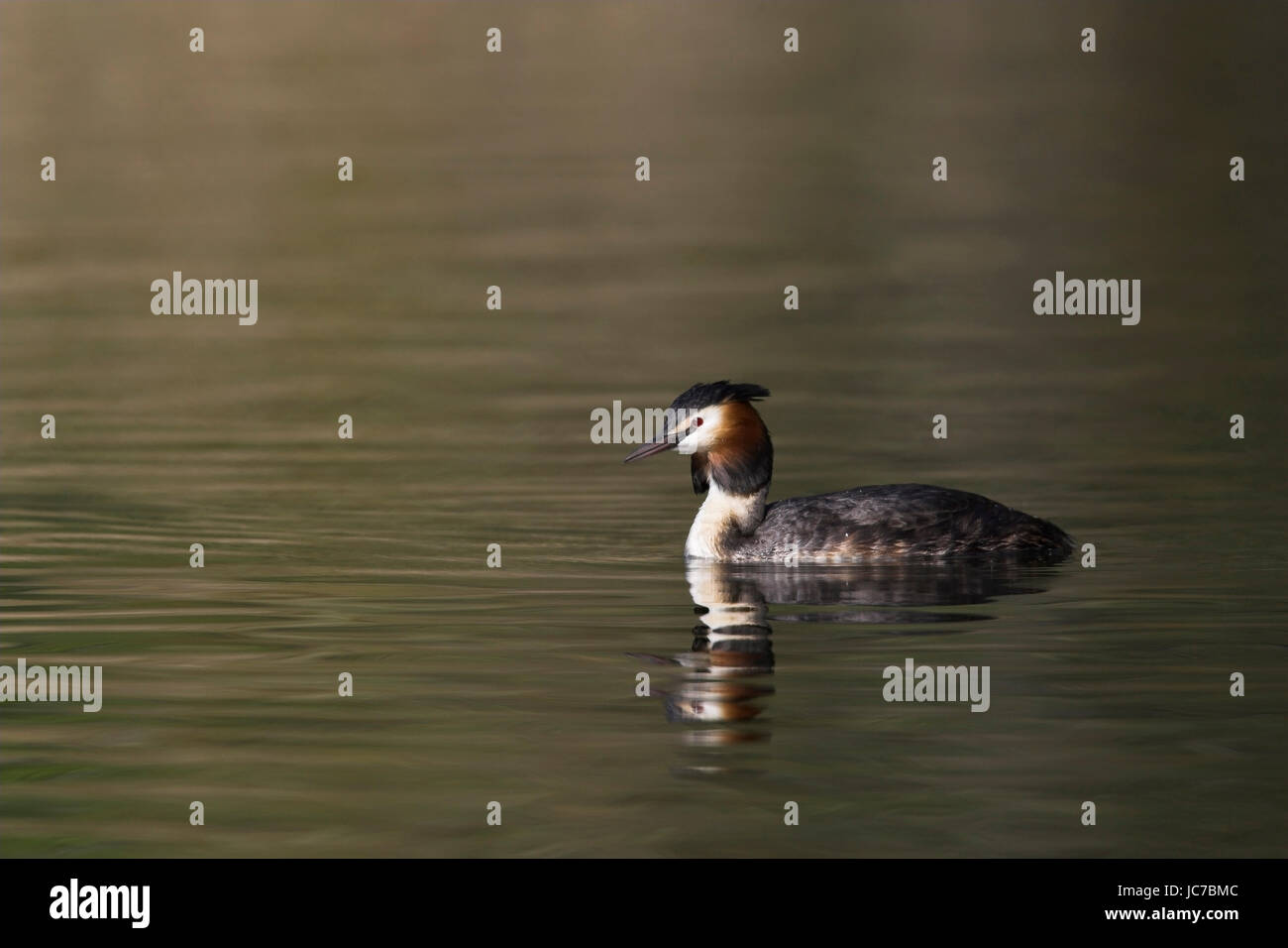 Bonnet diver, Great Crested Grebe, Podiceps cristatus, Haubentaucher / Great Crested Grebe / Podiceps cristatus - Stock Image