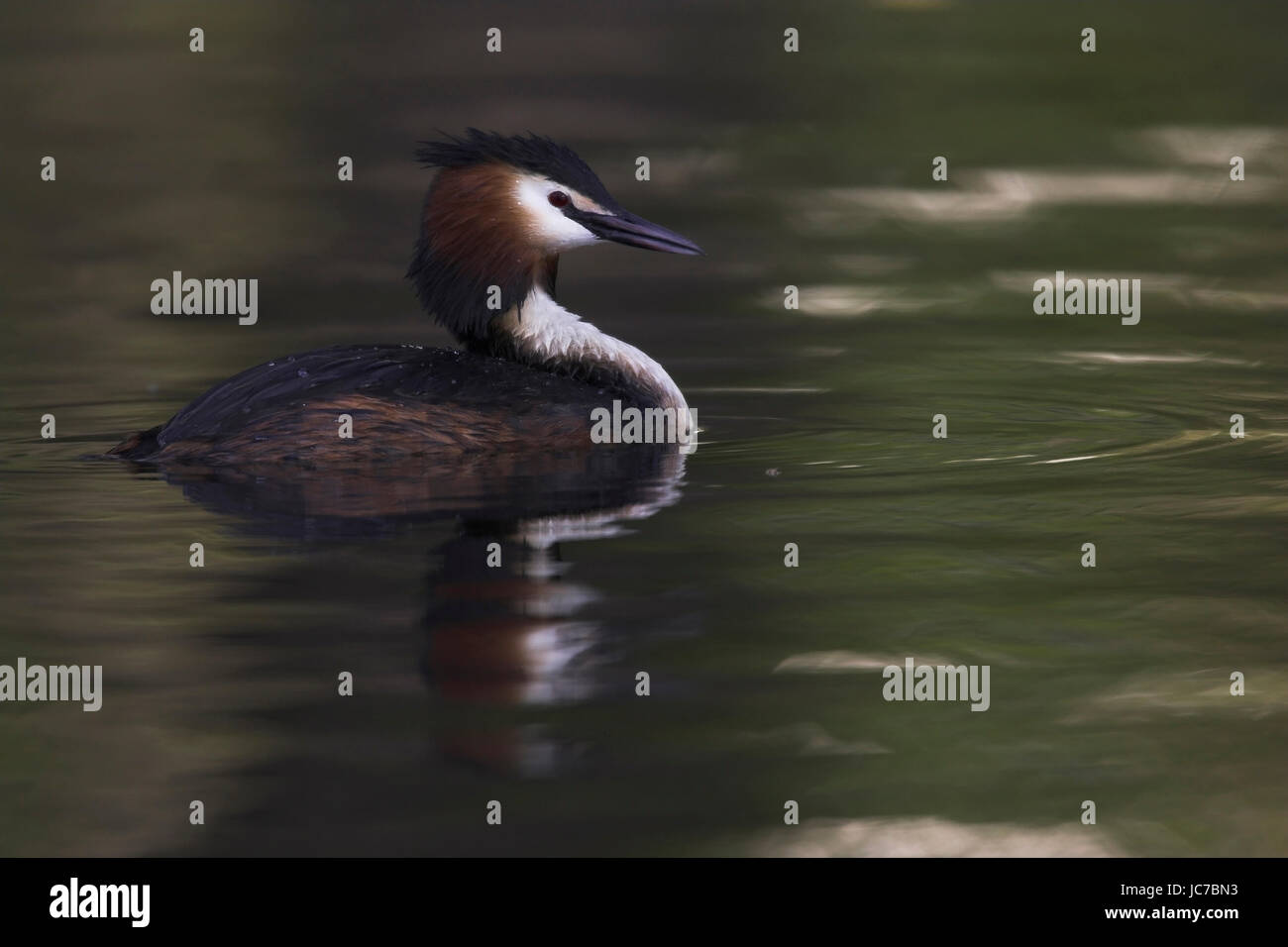 Bonnet diver, Podiceps cristatus, Great Crested Grebe, birds, cloth divers, Stei?f??er, Podicipediformes, Podicipedidae, - Stock Image