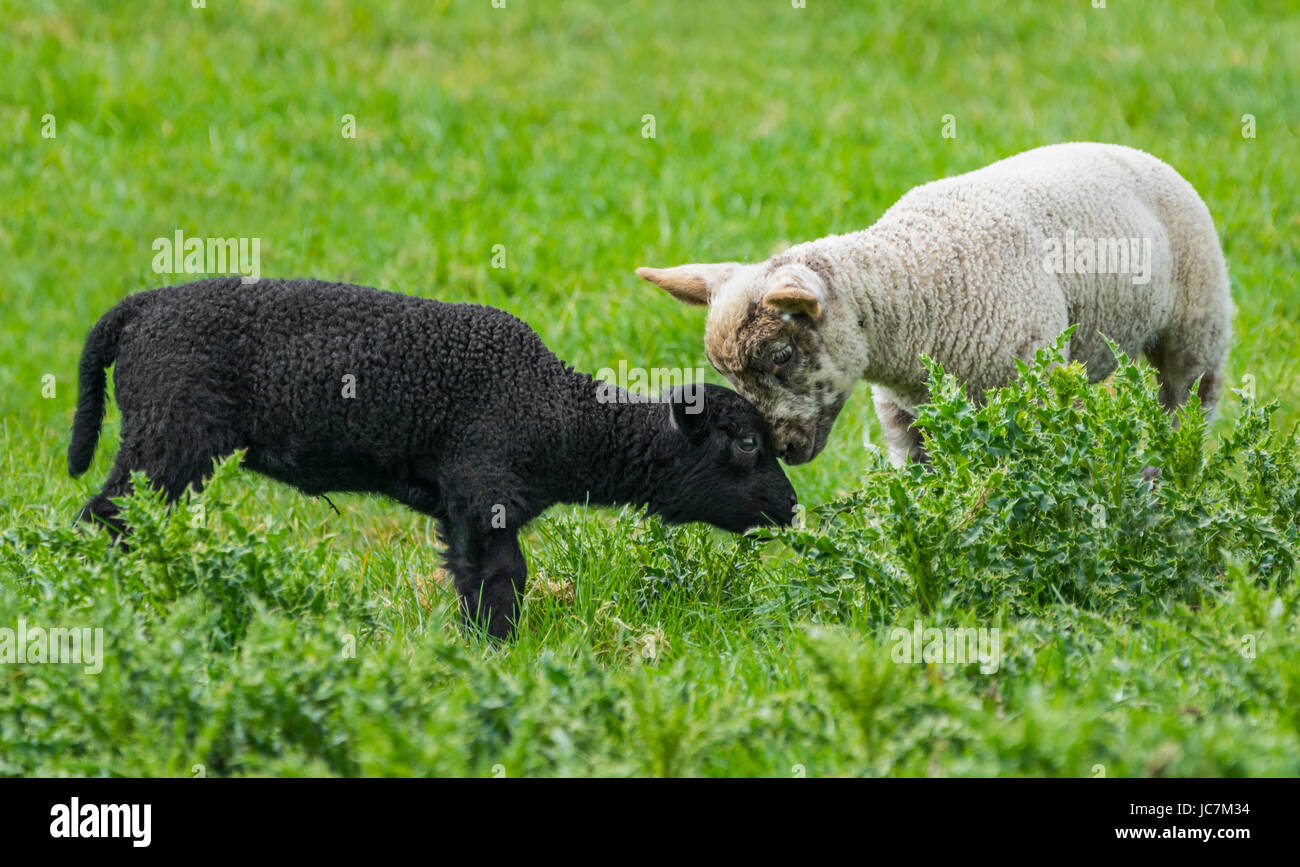 Pair of lambs. A black and a white lamb close together in a field in the UK. Friends forever concept. Compassion - Stock Image