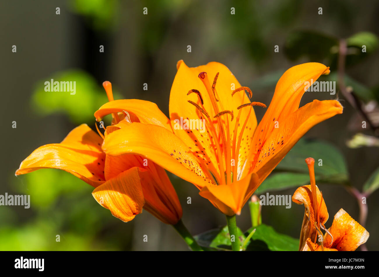 Orange Asiatic Lily growing in early Summer in West Sussex, England, UK. - Stock Image