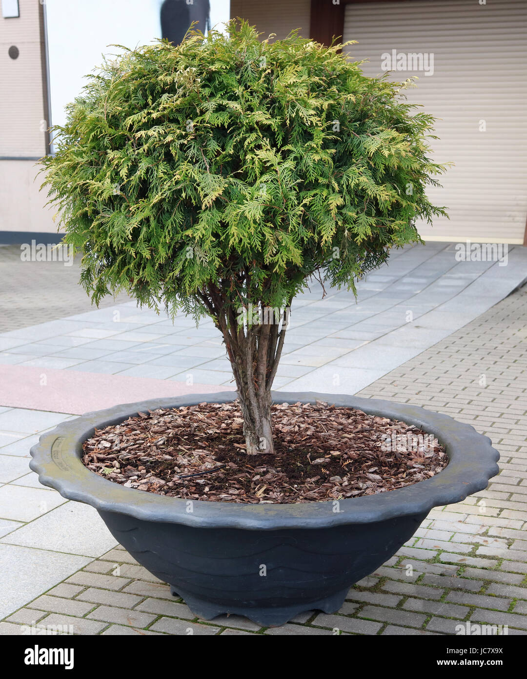 Fine small green coniferous tree in a metal pot on the city street - Stock Image