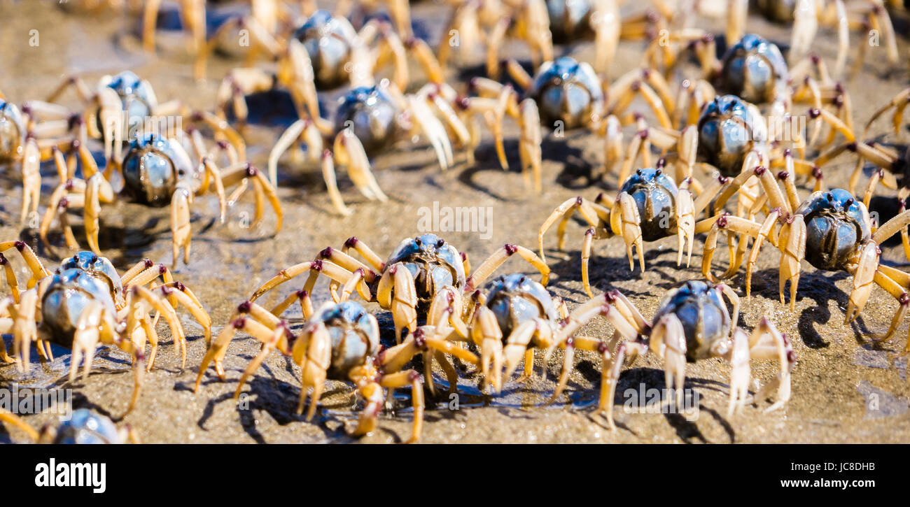 Closeup group of soldier crabs - Stock Image