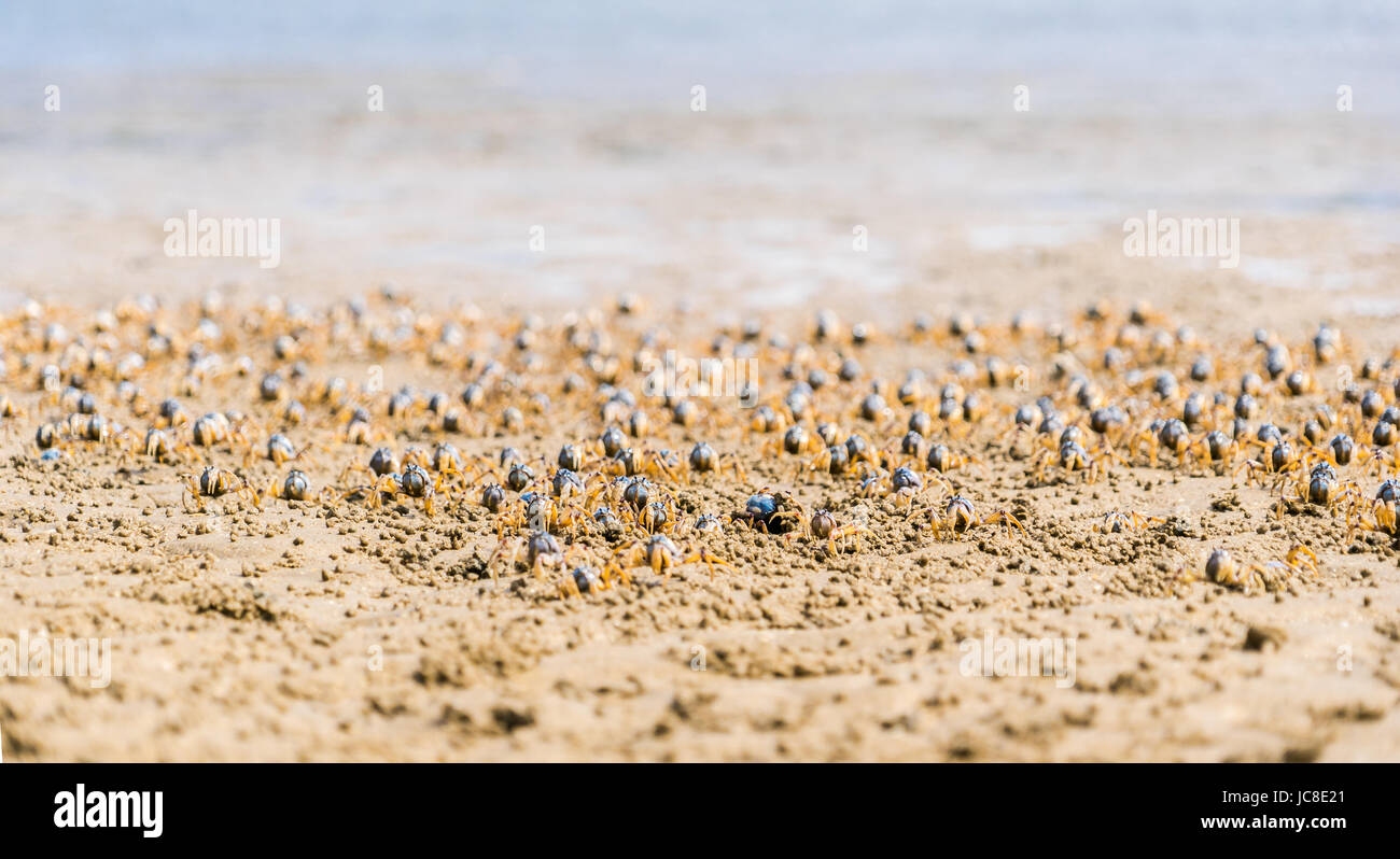 Soldier crabs coming out of they mud holes - Stock Image