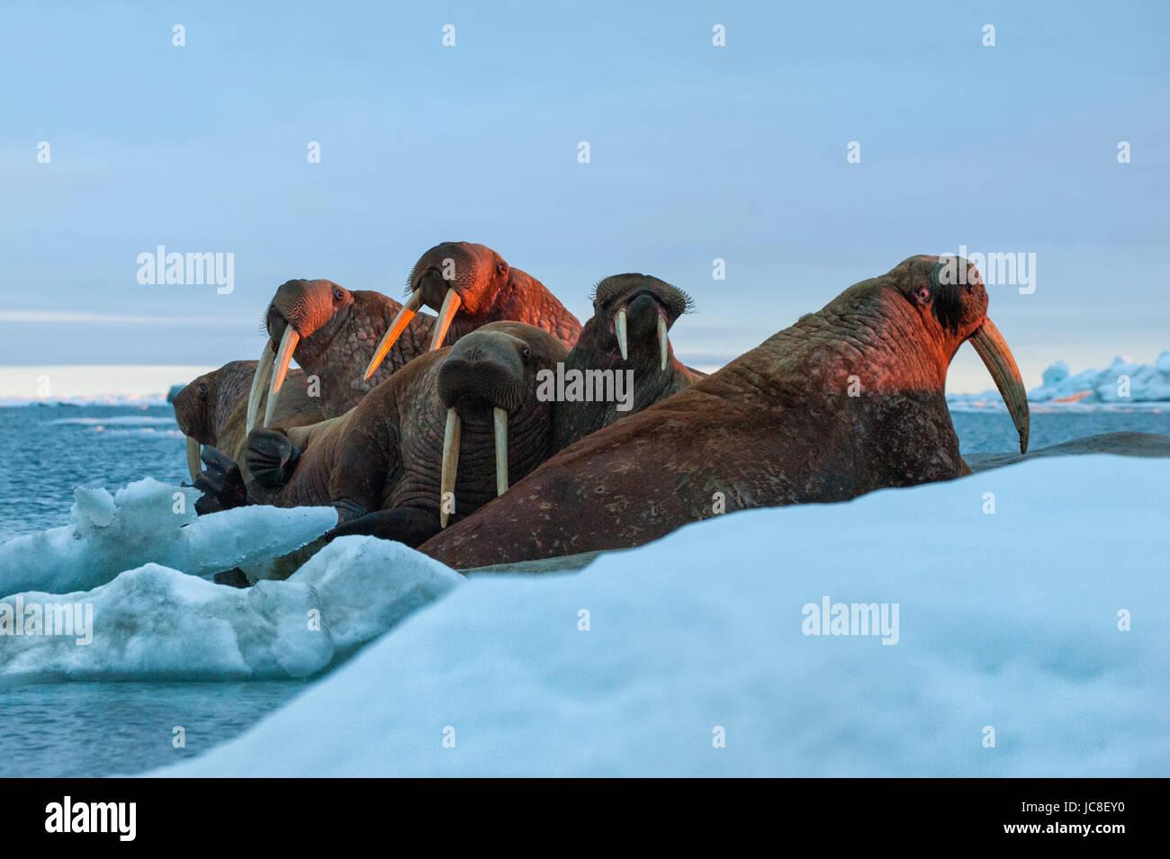 Last rays of evening sun striking a group of Walrus (Odobenus rosmarus, Wrangel Island, Chuckchi Sea, Chukotka, Stock Photo