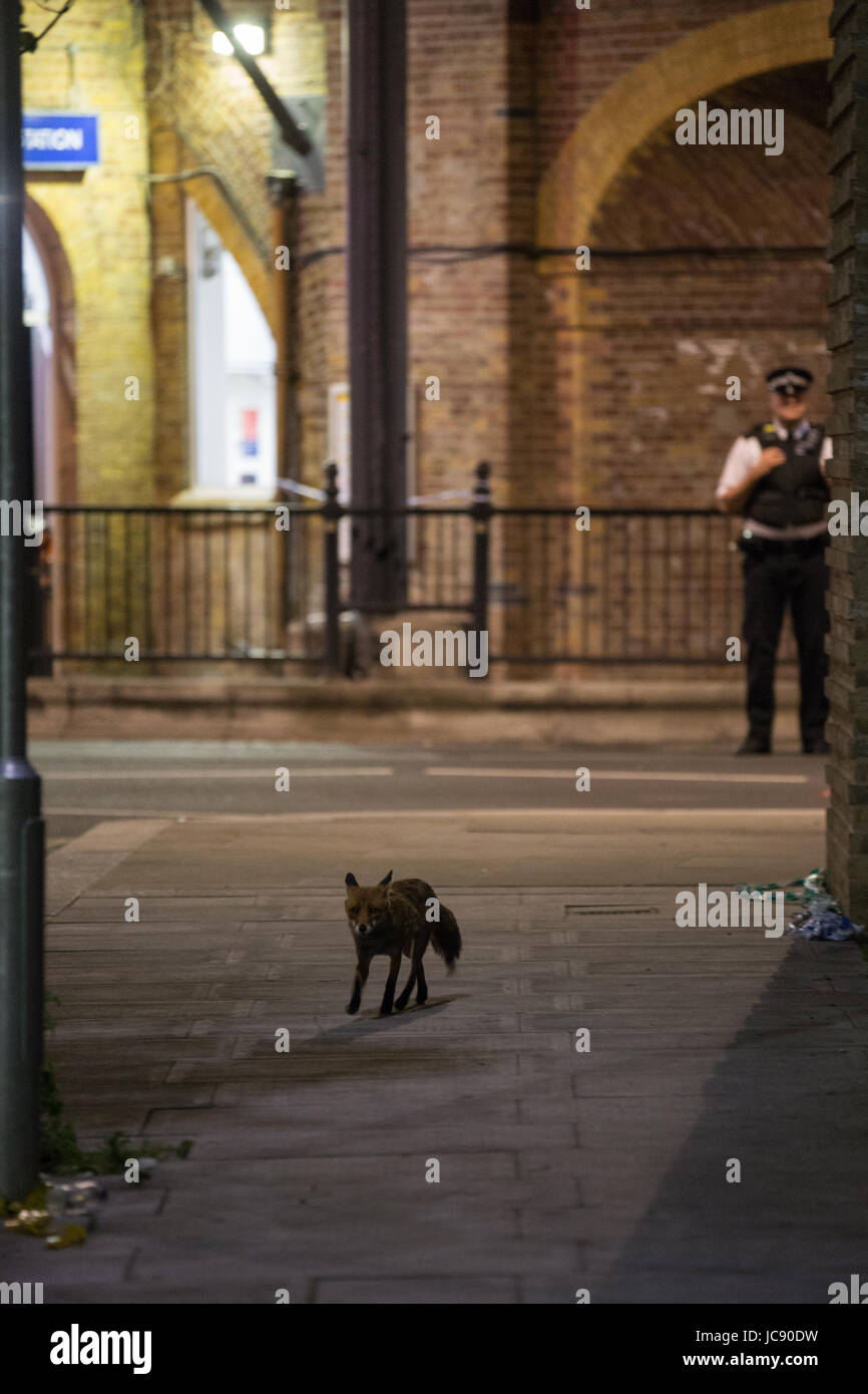 London, UK. 15th June, 2017. An urban fox passes in front of the police cordon around Grenfell Tower in the early - Stock Image