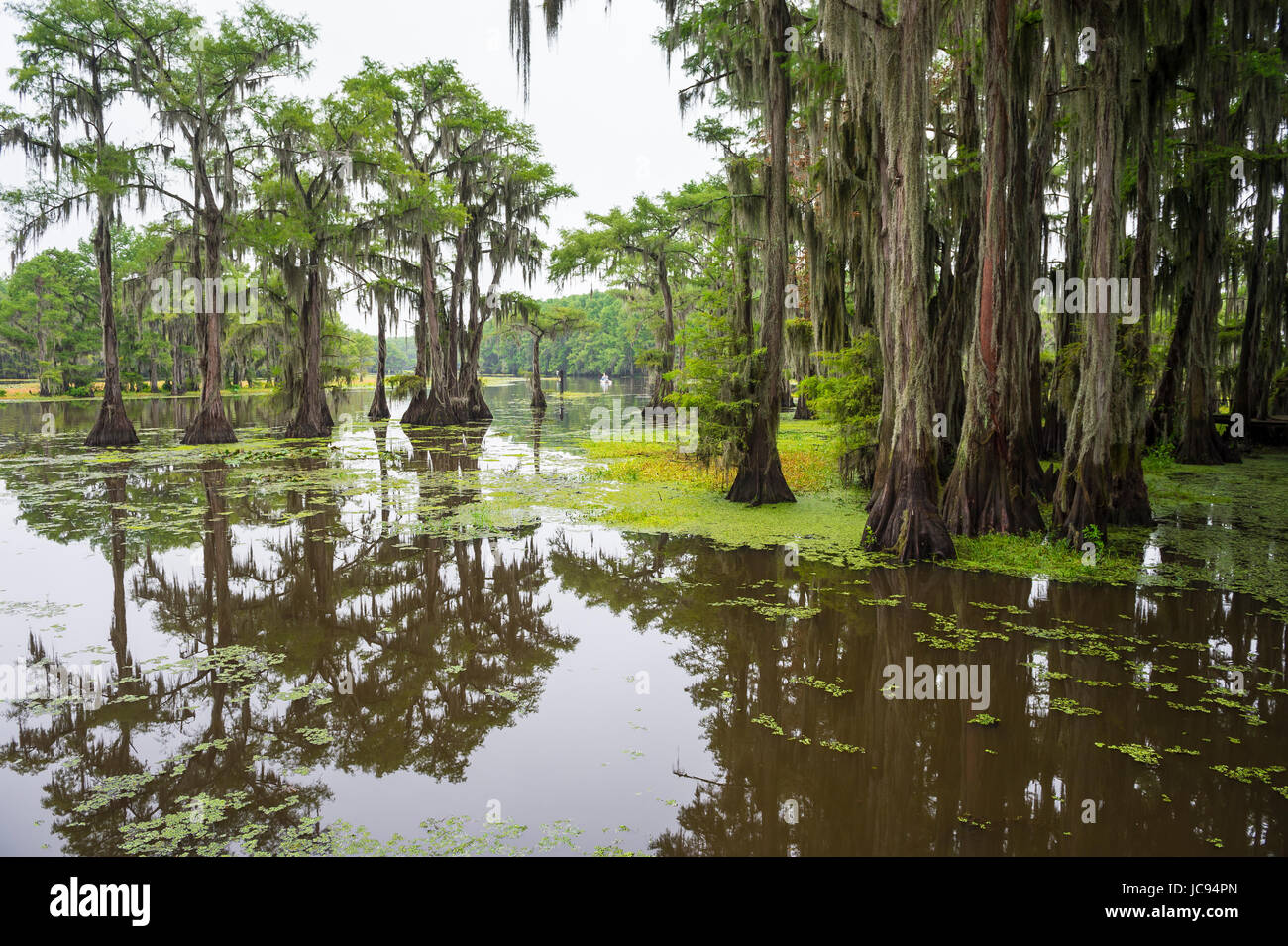Classic bayou swamp scene of the American South featuring bald cypress trees reflecting on murky water in Caddo - Stock Image