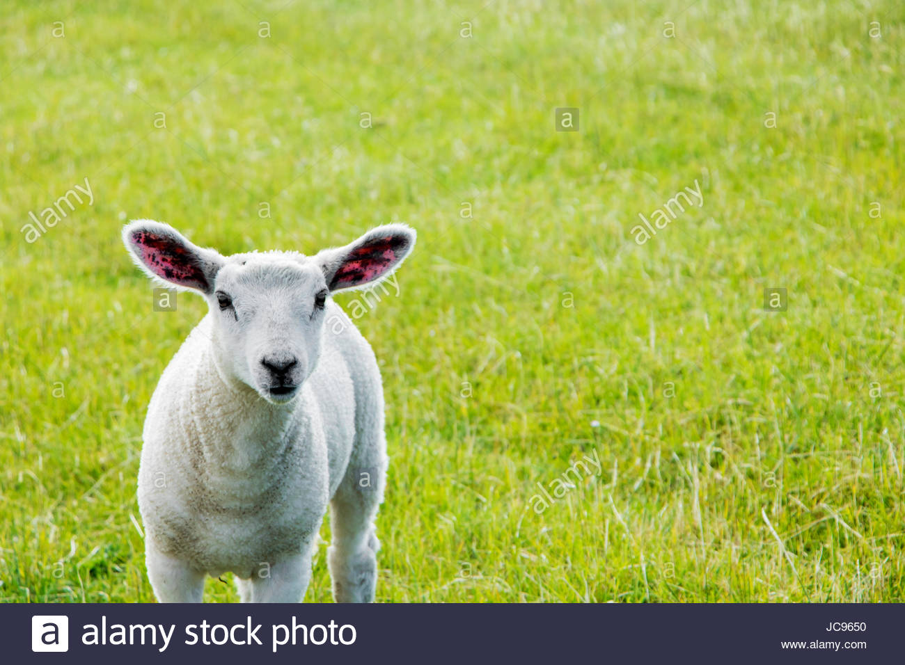 Baby sheep lamb puppy sheep wooly sheep fluffy cute portrait northern germany dithmarschen common land sheep texel - Stock Image