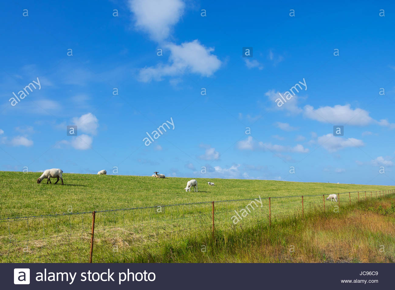Flock of sheep grazing on grass embankment at the shore of North Sea herd of sheep germany texel sheep North Frisia Stock Photo