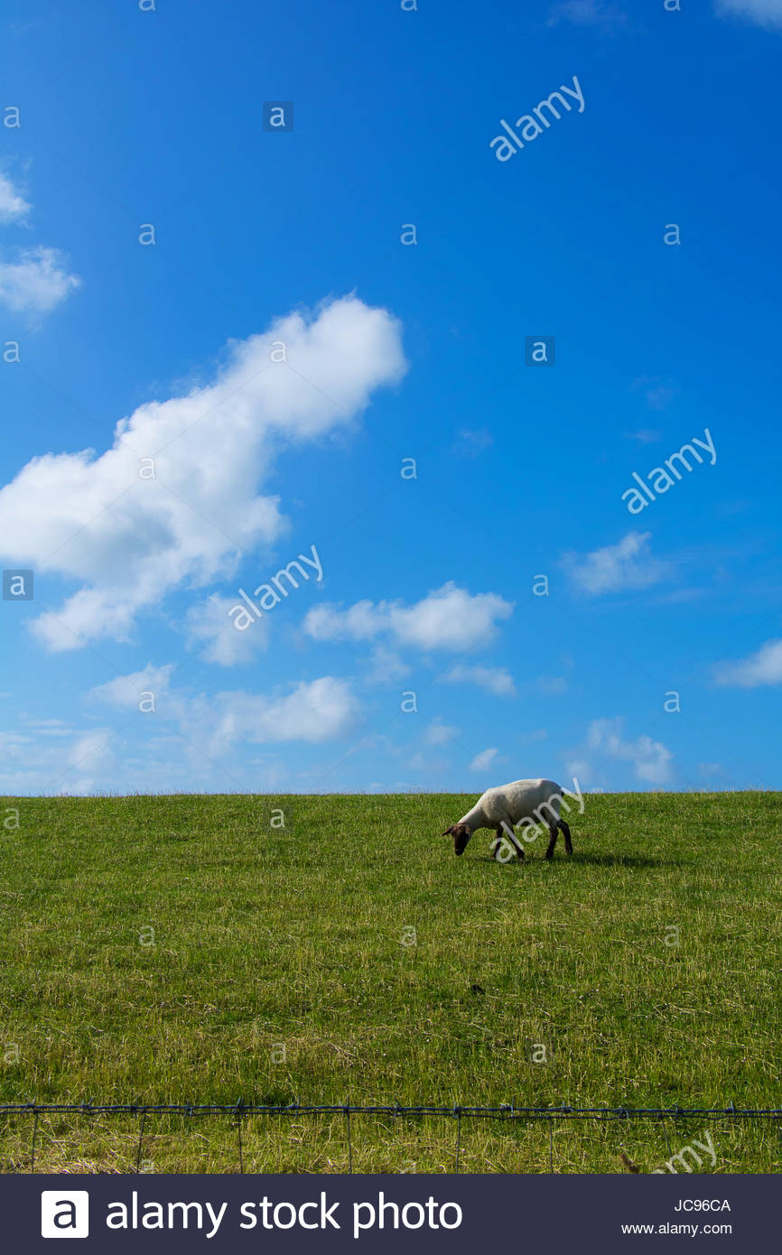 Texel Sheep grazing on grass embankment at the shore of North Sea   North Frisia germany countryside sheep landscape Stock Photo
