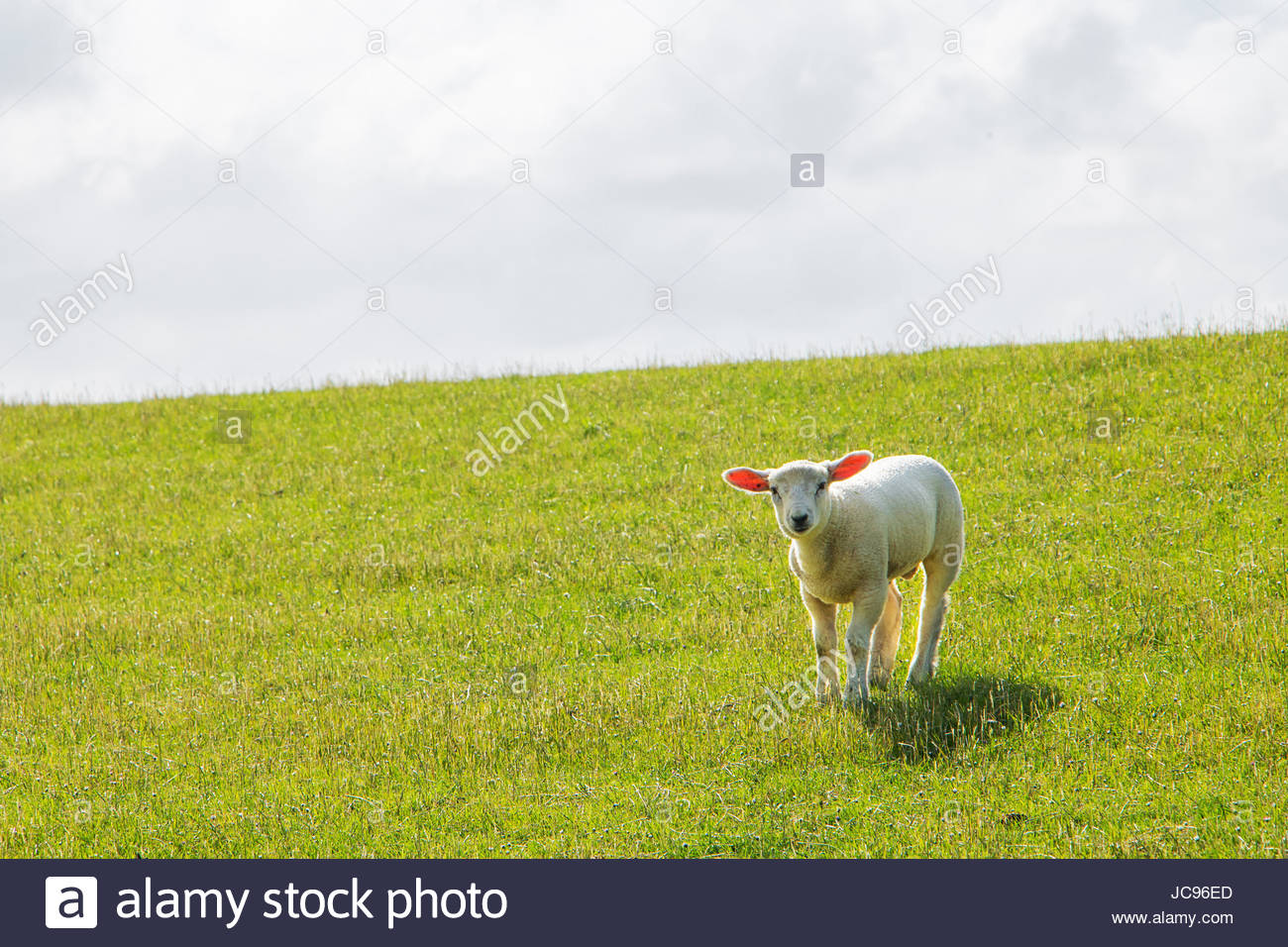 Baby sheep lamb puppy sheep wooly sheep fluffy cute northern germany dithmarschen common land sheep texel sheep Stock Photo