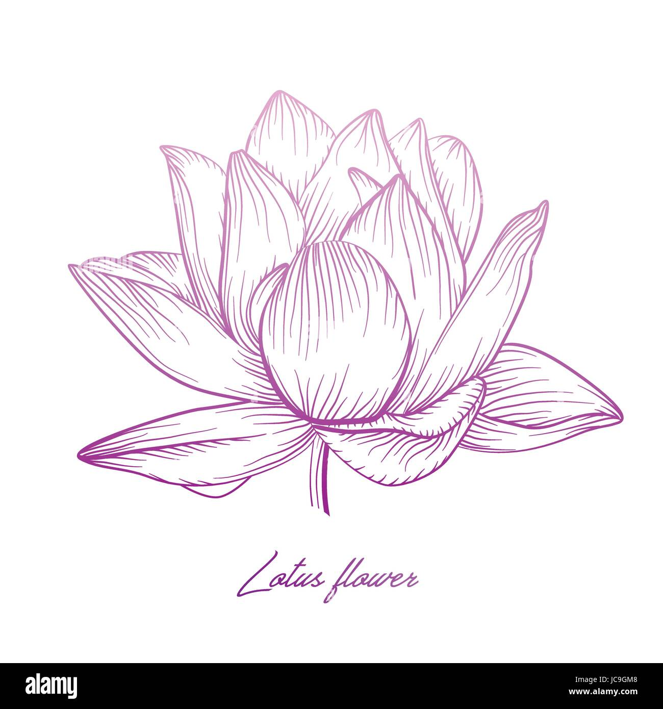 Lotus Water Lily Vector Beautiful Flower Colorful Pink Purple Soft