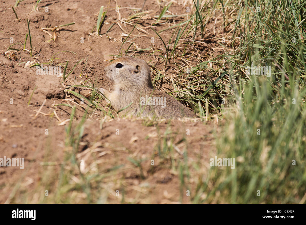 The Gopher Stock Photos & The Gopher Stock Images - Alamy
