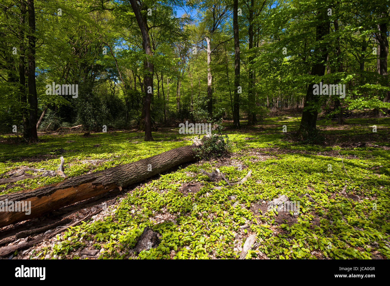Germany, Ruhr Area, spring in a forest at the Ruhrhoehenweg in the Ardey mountains near Wetter. Stock Photo