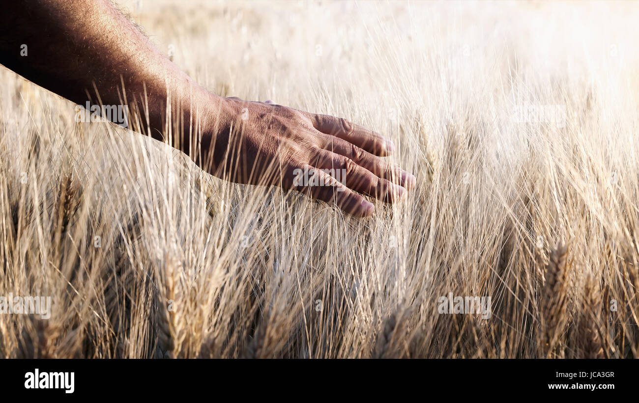 Field of wheat cultivated, and one hand caresses the stems of wheat in backlight. Stock Photo