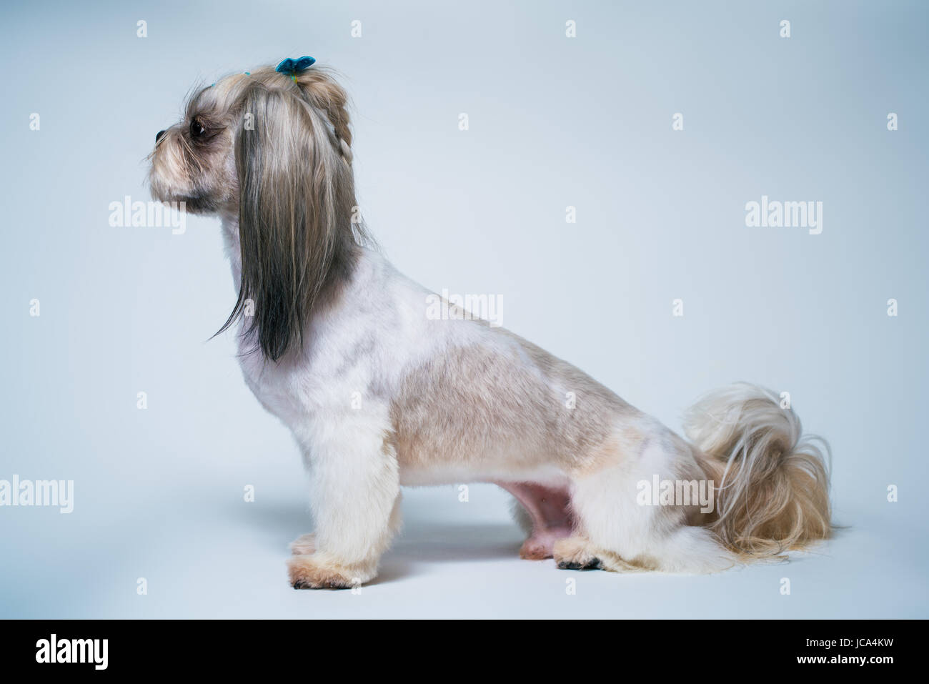 Shih Tzu Dog With Short Hair After Grooming Profile View On Bright