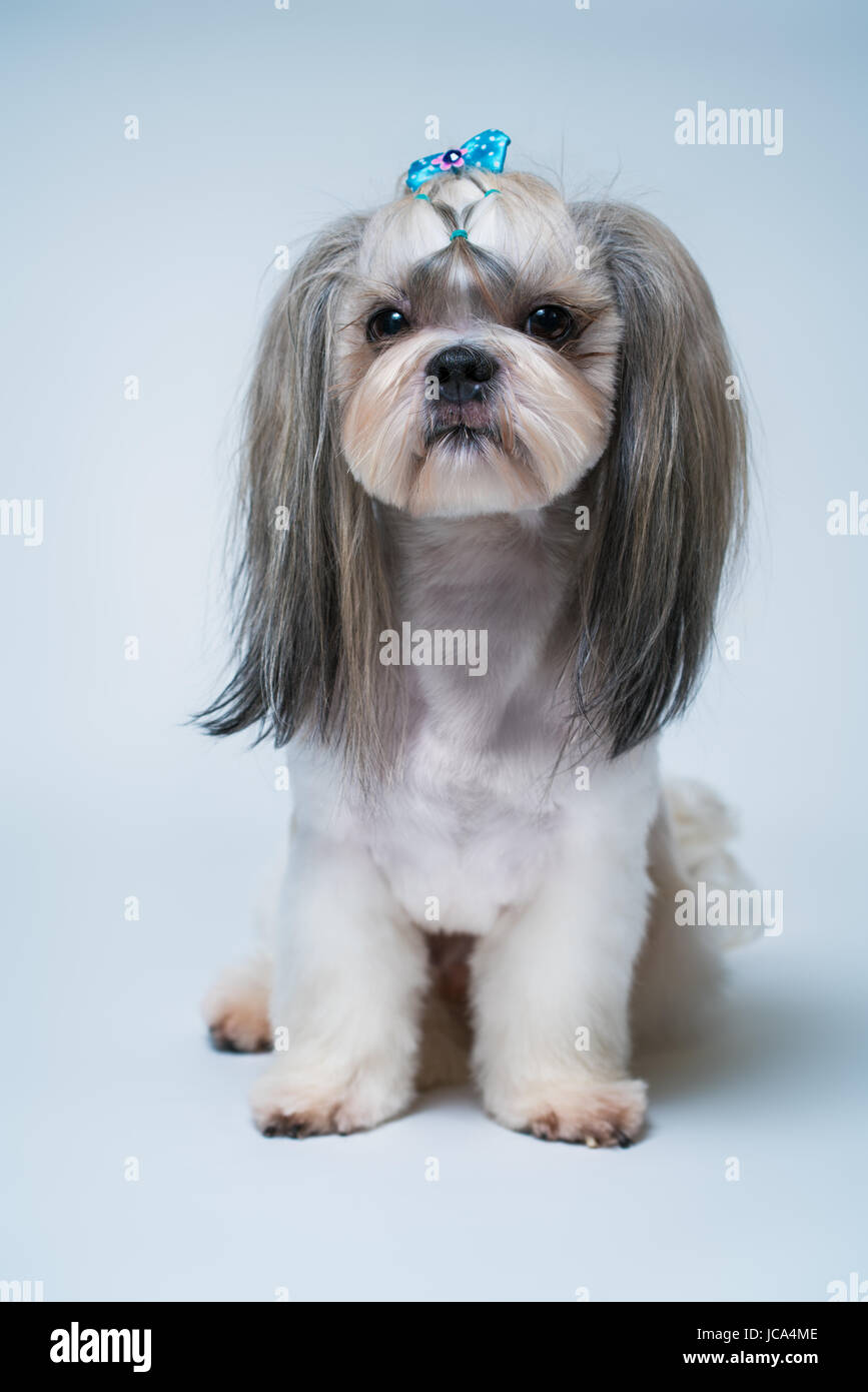 Shih Tzu Dog With Short Hair After Grooming Profile View On Bright Stock Photo Alamy