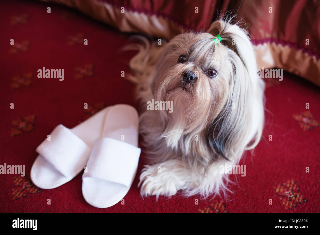 Shih tzu dog lying on red carpet with owner slippers in luxury interior - Stock Image
