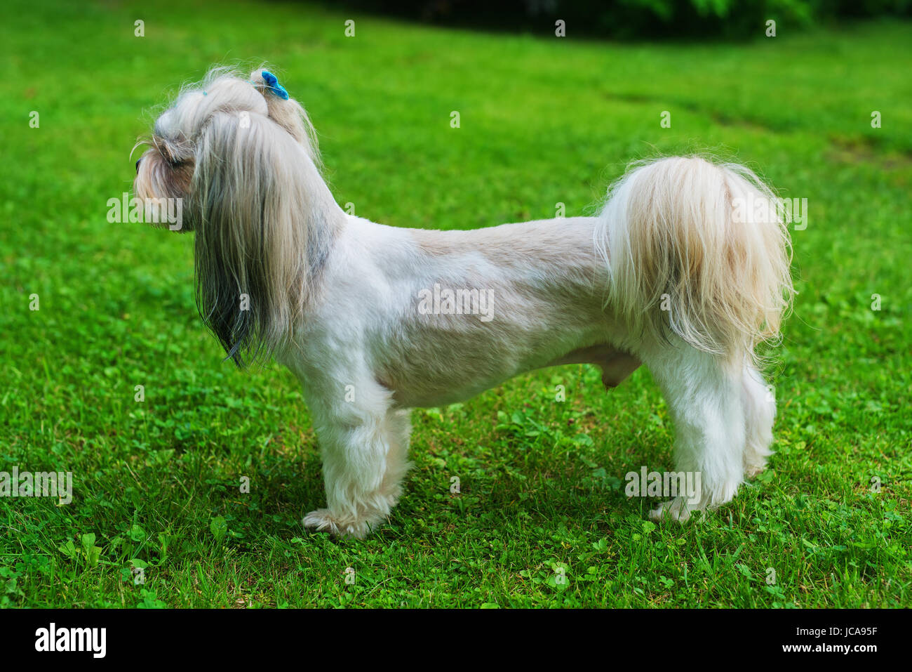 Shih Tzu Dog With Short Haircut Standing On Green Lawn Background Stock Photo Alamy