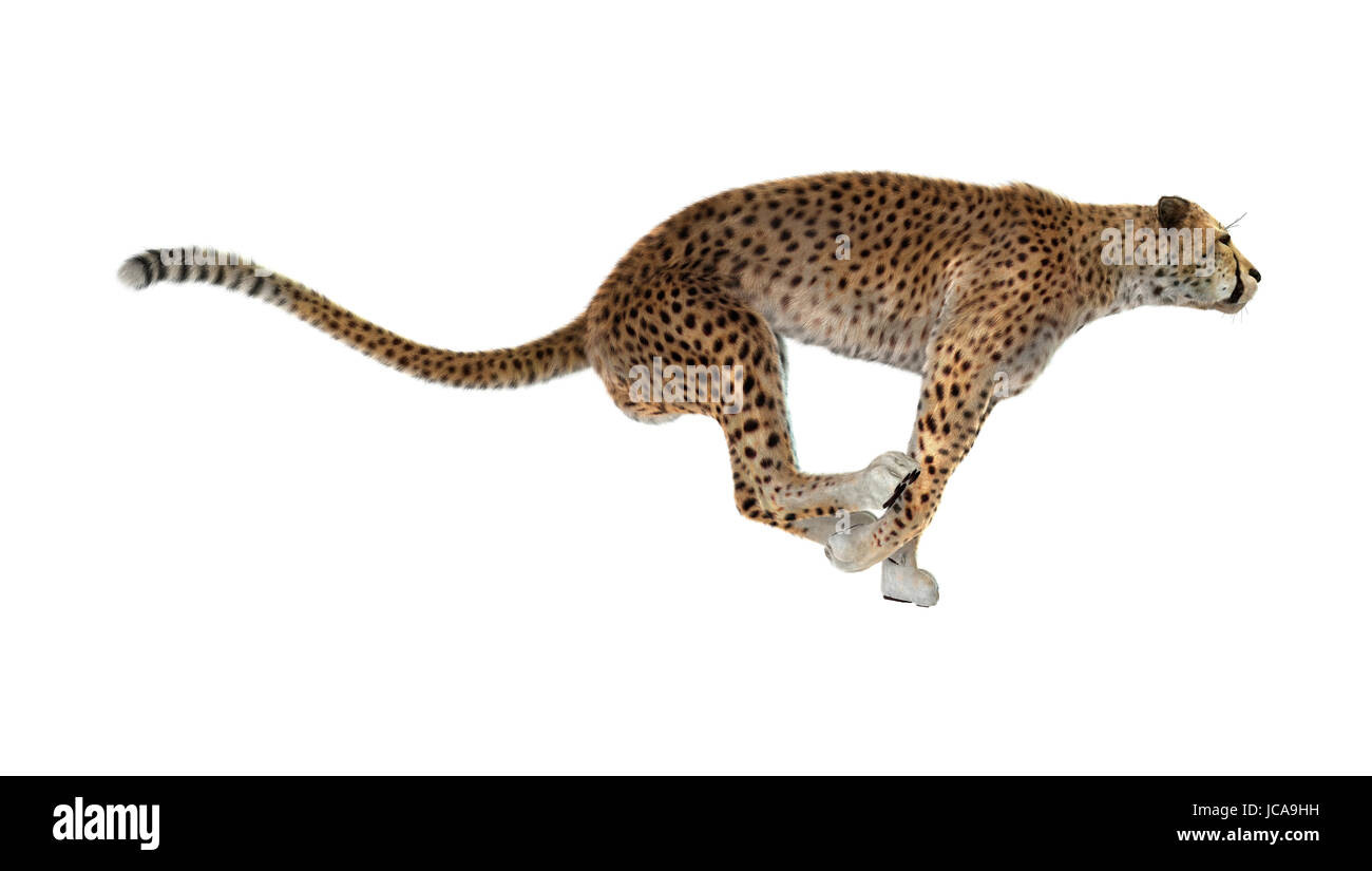 3D rendering of a cheetah isolated on white background Stock Photo