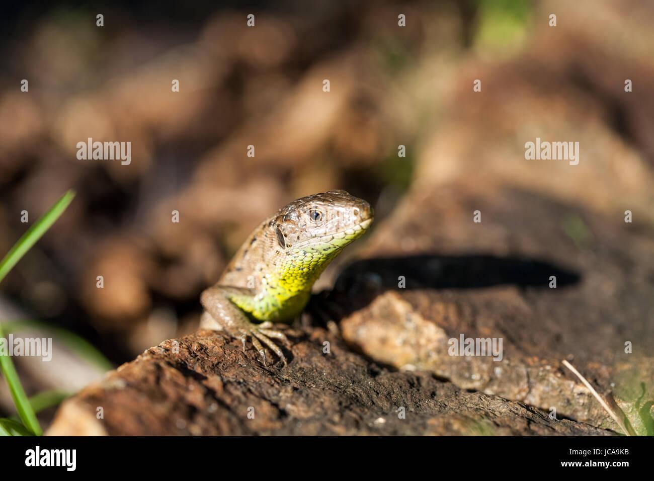 Agile Eidechse in ihrem natürlichen Lebensraum auf dem Boden zwischen welken Blättern an einem warmen sonnigen Tag Stock Photo