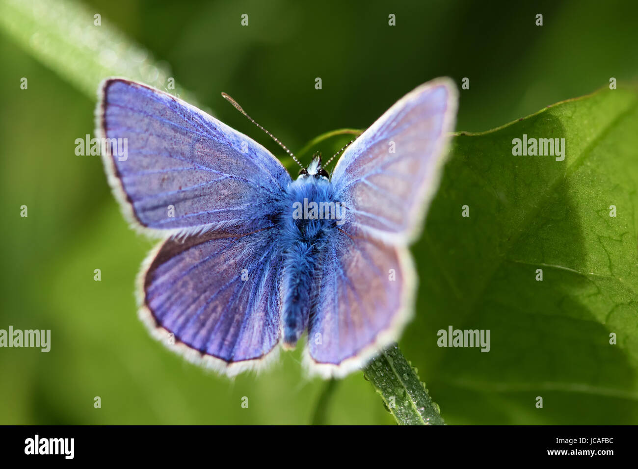 Close-up of a fluffy blue butterfly on green leaves. - Stock Image