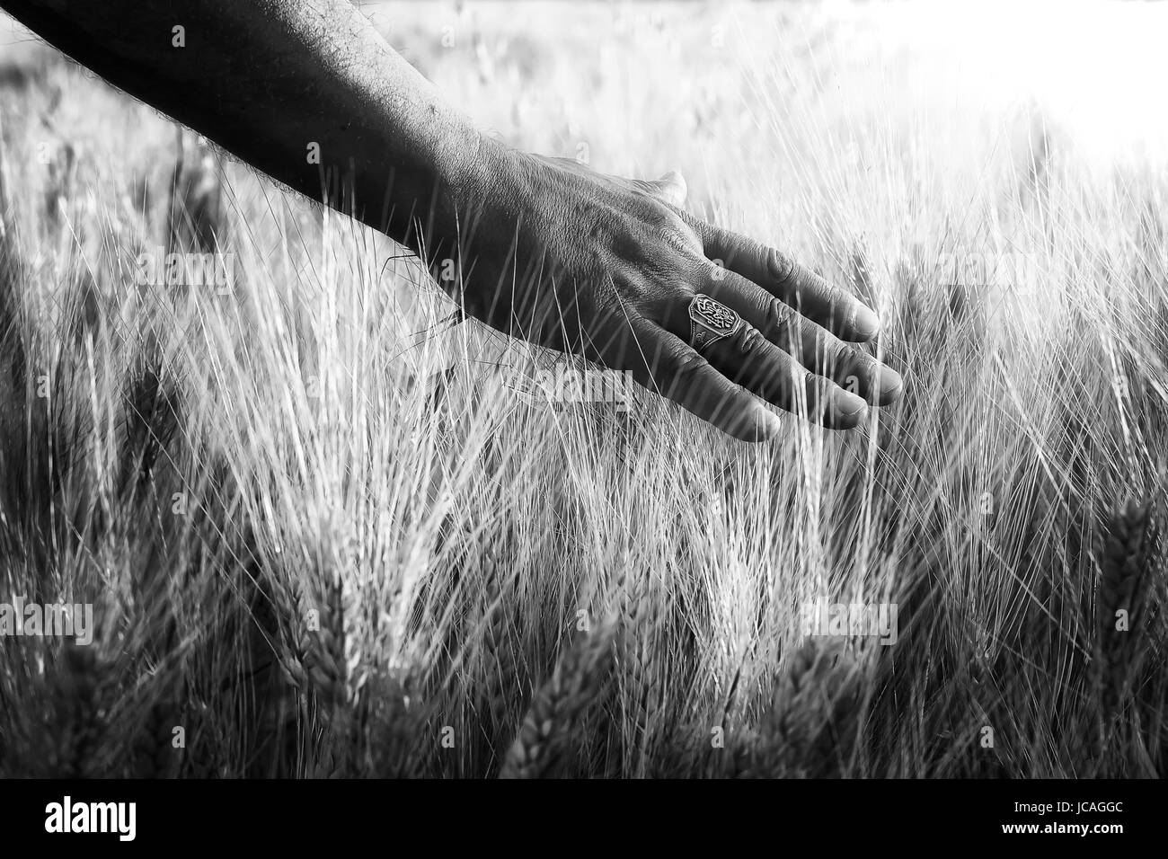 Field of wheat cultivated, and one hand caresses the stems of wheat in backlight. - Stock Image