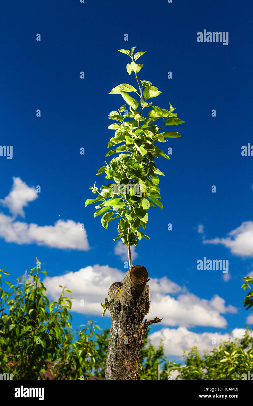 Revived apple tree on sky background - Stock Image