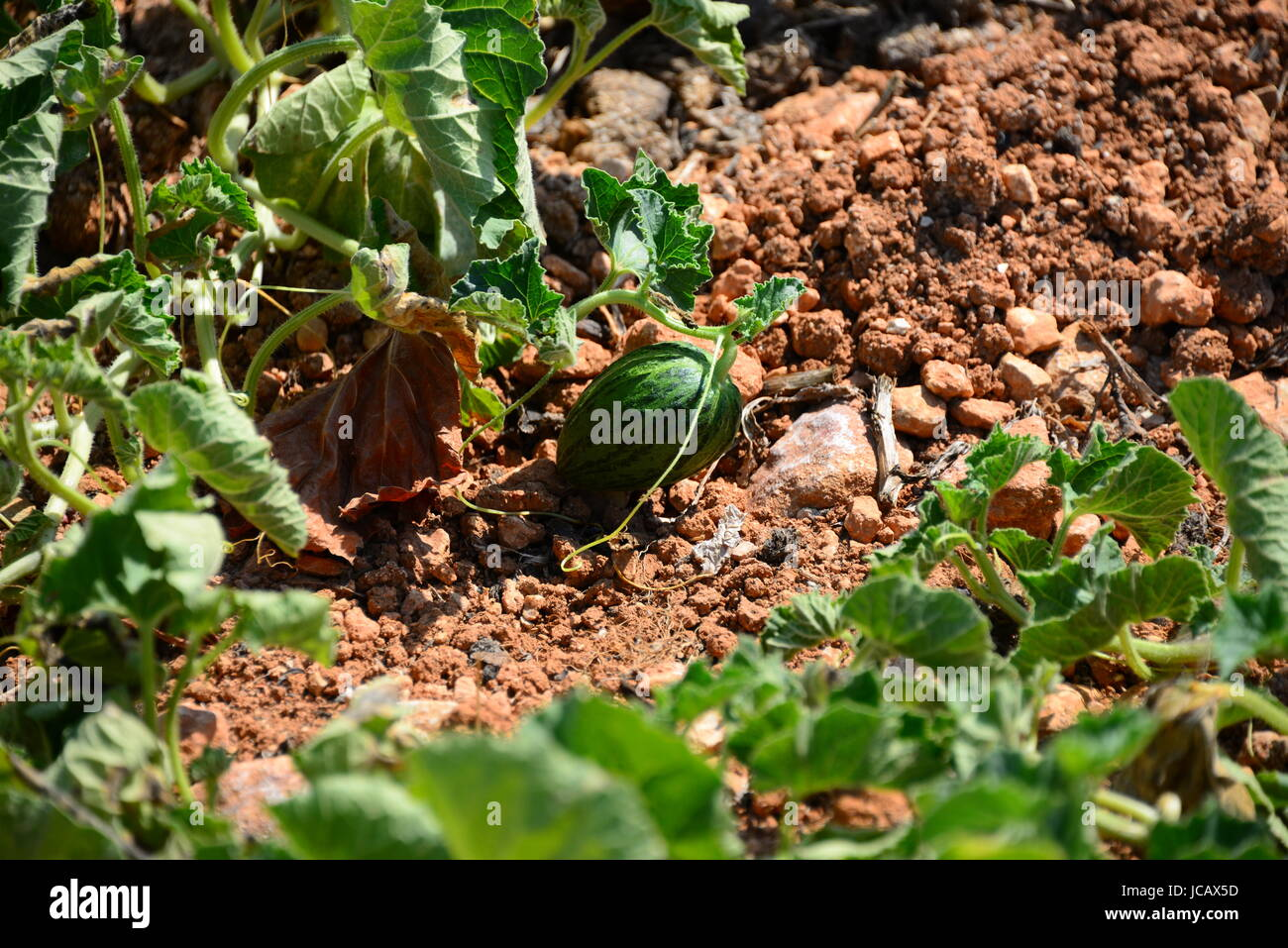 melons on the field - spain Stock Photo