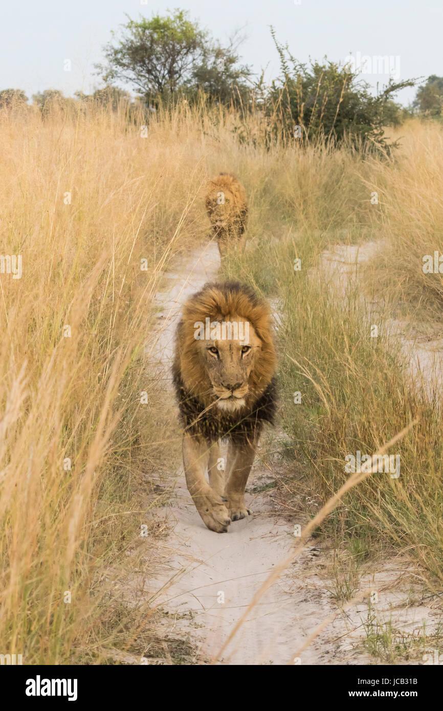 Lion walking on road - Stock Image